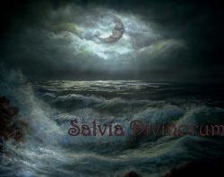 Salvia divinorum I